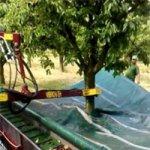Como é a Colheita de Cerejas