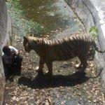 Tigre Mata Estudante em Zoológico da Índia